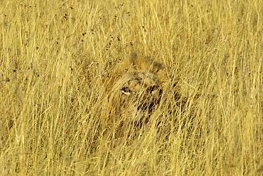 African Lion (Panthera leo) young male camouflaged in tall grass, Masai Mara, Kenya