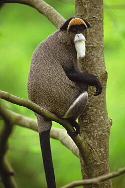 De Brazza's Monkey (Cercopithecus neglectus) portrait, captive animal, Woodland Park Zoo, Washington  -  Gerry Ellis