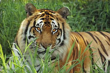 Bengal Tiger (Panthera tigris tigris), Hilo Zoo, Hawaii