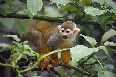 South American Squirrel Monkey (Saimiri sciureus), Monkey Island, Amazon Basin, Brazil
