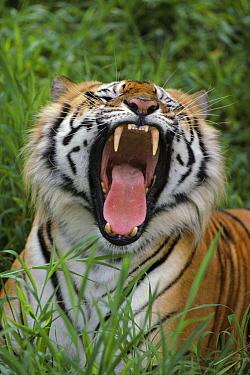 Bengal Tiger (Panthera tigris tigris) yawning, Hilo Zoo, Hawaii