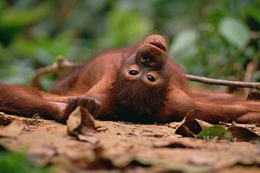 Orangutan (Pongo pygmaeus) lying down, Sepilok Forest Reserve, Sabah, Borneo  -  Gerry Ellis