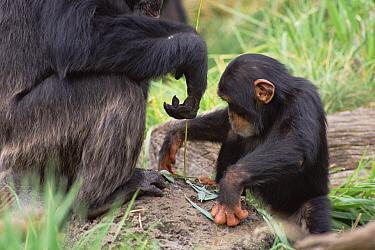 Chimpanzee (Pan troglodytes) teaching young male to use fishing tool, Washington Park Zoo  -  Gerry Ellis