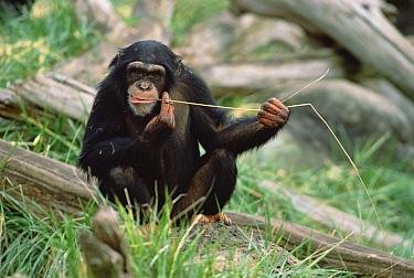 Chimpanzee (Pan troglodytes) uses fishing tool, Washington Park Zoo  -  Gerry Ellis