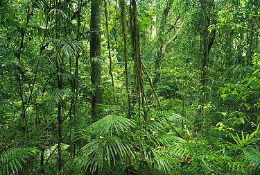 Upland tropical rainforest interior in Palmerston National Park, Atherton Daintree, Queensland, Australia  -  Gerry Ellis
