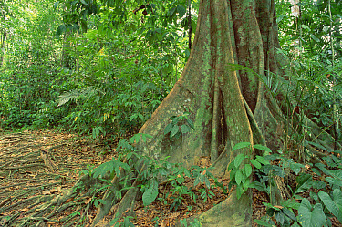 Buttress roots of tree in lowland dipterocarp tropical rainforest interior, Malaysia  -  Gerry Ellis