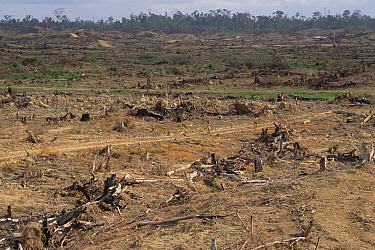 Scorched earth rainforest destruction showing stumps of logged trees with undisturbed rainforest in distance, Borneo  -  Gerry Ellis