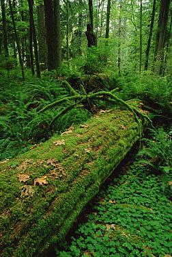 Fir (Abies sp) nurse log in temperate rainforest interior, Pacific coast, North America  -  Gerry Ellis