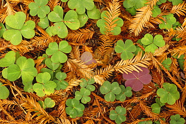 Woodsorrel (Oxalis sp) and Coast Redwood (Sequoia sempervirens) leaf litter, Pacific coast, North America  -  Gerry Ellis