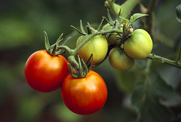 Tomato (Lycopersicon esculentum) fruit ripening on vine, worldwide domestication  -  Gerry Ellis