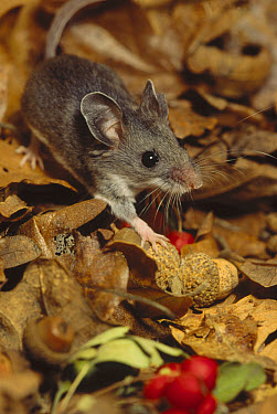 Deer Mouse (Peromyscus maniculatus) walking across forest floor covered with fallen leaves and red berries, North America  -  Gerry Ellis
