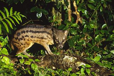 Striped Civet (Fossa fossana) standing on log in rainforest, eastern Madagascar  -  Gerry Ellis