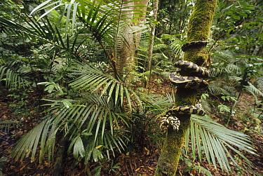 Carpet Python (Morelia spilota) wound around tree trunk in tropical rainforest, New Guinea, Indonesia  -  Gerry Ellis