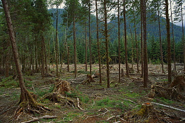Selective logging forestry technique, Olympic National Forest, Washington  -  Gerry Ellis