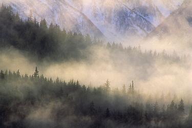 Fog in old growth forest, Chilkat River Wilderness, Alaska  -  Gerry Ellis