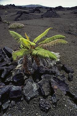 Ama'u Fern (Sadleria sp) in lava field, Hawaii Volcanoes National Park, Hawaii  -  Gerry Ellis