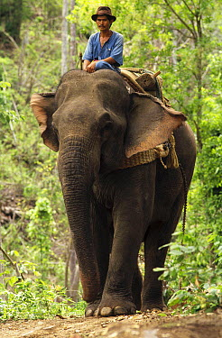 Asian Elephant (Elephas maximus) with mahout in logging operation, northeastern Thailand  -  Gerry Ellis