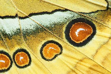 Northern Jungle Queen (Stichophthalma camadeva) female, India  -  Gerry Ellis