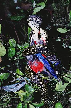 Carpet Python (Morelia spilota) swallowing a Macaw (Ara sp), tropical eastern Australia and New Guinea  -  Gerry Ellis