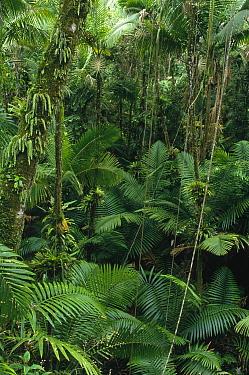 Sierra Palm (Prestoea montana) trees in tropical rainforest, El Yunque National Forest, Puerto Rico  -  Gerry Ellis