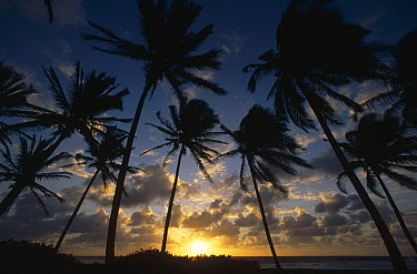 Coconut Palm (Cocos nucifera) trees silhouetted at sunrise, St Vincent Island, Lesser Antilles, Caribbean  -  Gerry Ellis