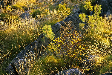 Spinifex Grass (Spinifex sp) and stone garden in Geike Gorge National Park, Western Australia  -  Gerry Ellis
