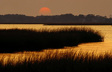 Salt marshes in Assateague Island National Seashore, Maryland  -  Gerry Ellis