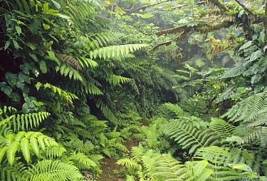 Path through elfin rainforest, interior dominated by ferns, Saba Island, Caribbean  -  Gerry Ellis