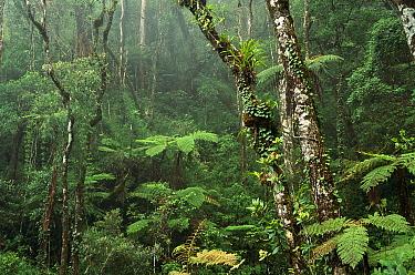 Montane rainforest interior at 7,000 feet elevation, Mt Kinabalu, Mt Kinabalu National Park, Borneo  -  Gerry Ellis