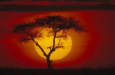 Whistling Thorn (Acacia drepanolobium) tree over savannah, Masai Mara National Reserve, Kenya  -  Gerry Ellis