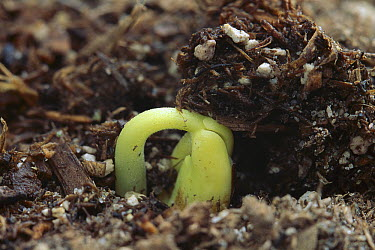 Bean (Phaseolus hybrid) seedling emerging  -  Gerry Ellis