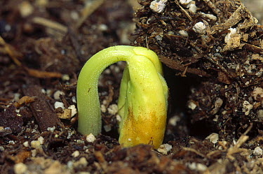 Bean (Phaseolus hybrid) seedling emerging from soil, cultivated worldwide  -  Gerry Ellis