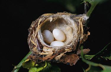 Magnificent Hummingbird (Eugenes fulgens) nest with three eggs, Costa Rica