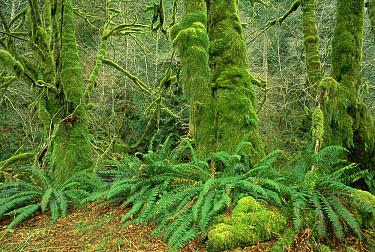 Bigleaf Maple (Acer macrophyllum) trees covered with moss in temperate rainforest, North America  -  Gerry Ellis