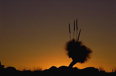 Grass Tree (Xanthorrhoea preissii) found in arid areas, Australia  -  Gerry Ellis