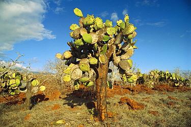 Opuntia (Opuntia echios) cactus Galapagos Islands National Park, Ecuador  -  Gerry Ellis