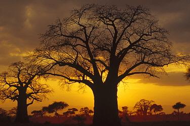 Baobab (Adansonia digitata) tree silhouetted at sunset, Tanzania  -  Gerry Ellis