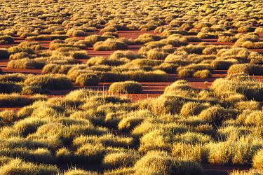 Spinifex Grass (Spinifex sp) growing in desert, arid western and central Australia  -  Gerry Ellis