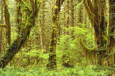 Trees covered with moss in temperate rainforest interior, Queen's River Valley, Olympic National Park, Washington