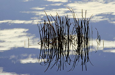 Common Cattail (Typha latifolia) blades reflected in pond in winter, Malheur National Wildlife Refuge, Oregon  -  Gerry Ellis