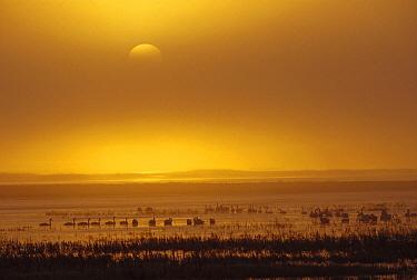 Swans and Geese at sunrise, lower Klamath Basin National Wildlife Refuge, northern California  -  Gerry Ellis