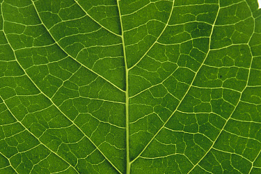 Detail of leaf rib and venation of a hydrangea leaf, cultivated world wide  -  Gerry Ellis