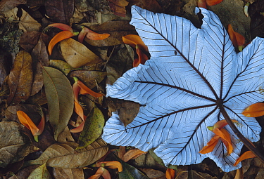 Cecropia (Cecropia sp) leaf atop lobster claw petals on tropical rainforest floor, Mexico