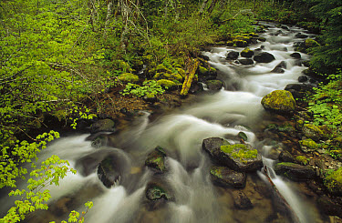 Still Creek in spring, temperate rainforest, Mt Hood National Forest, Oregon  -  Gerry Ellis
