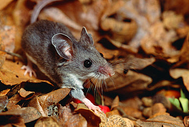 Deer Mouse (Peromyscus maniculatus), North and Central America  -  Gerry Ellis