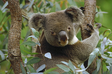 Koala (Phascolarctos cinereus) male in tree, Australia