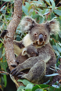 Koala (Phascolarctos cinereus) mother and joey, three month old, Australia