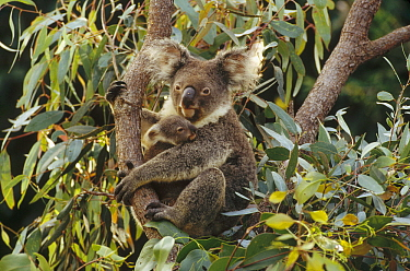 Koala (Phascolarctos cinereus) mother and three month old joey in tree, Australia