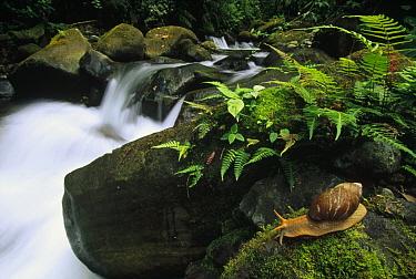 Land Snail along rainforest stream, Los Cedros River Valley, Ecuador  -  Gerry Ellis