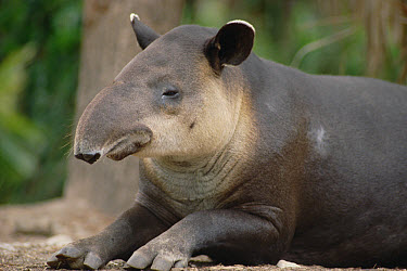 Baird's Tapir (Tapirus bairdii) portrait, Belize Zoo, Belize, occurs from southern Mexico to Colombia  -  Gerry Ellis